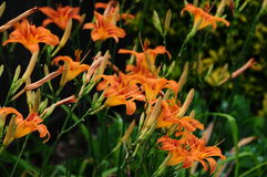 Hemerocallis fulva, tawny or orange daylily Royalty Free Stock Images