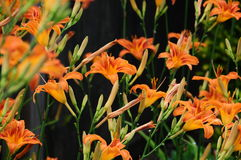Hemerocallis fulva, tawny or orange daylily Stock Photos