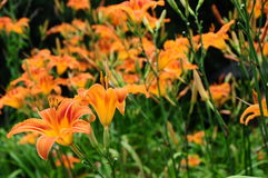 Hemerocallis fulva, tawny or orange daylily Stock Images