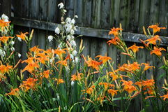 Hemerocallis fulva, tawny or orange daylily with a white Aplectrum hyemale, Adam and Eve or putty root Stock Photo