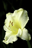 Hemerocallis - Happy Returns  Yellow Daylily Royalty Free Stock Image