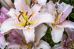 Hemerocallis stock photography
