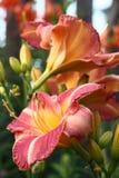 Hemerocallis kwiaty. Fotografia Stock