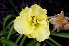 Hemerocallis `Lemon Custard Classic`. Hemerocallis  `Lemon Custard Classic`, Daylily, cultivar with large lemon yellow flowers with tepals with ruffled margins Royalty Free Stock Photos