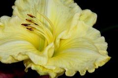 Hemerocallis `Lemon Custard Classic`. Hemerocallis  `Lemon Custard Classic`, Daylily, cultivar with large lemon yellow flowers with tepals with ruffled margins Stock Image