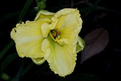 Hemerocallis `Lemon Custard Classic`. Hemerocallis  `Lemon Custard Classic`, Daylily, cultivar with large lemon yellow flowers with tepals with ruffled margins Royalty Free Stock Image
