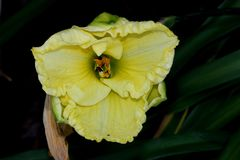 Hemerocallis `Lemon Custard Classic`. Hemerocallis  `Lemon Custard Classic`, Daylily, cultivar with large lemon yellow flowers with tepals with ruffled margins Stock Images