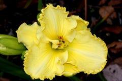 Hemerocallis  `Lemon Custard Classic. `, Daylily, cultivar with large lemon yellow flowers with tepals with ruffled margins, with greenish undertones Royalty Free Stock Photo