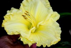 Hemerocallis `Lemon Custard Classic`. Hemerocallis  `Lemon Custard Classic`, Daylily, cultivar with large lemon yellow flowers with tepals with ruffled margins Stock Photos