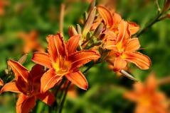 Hemerocallis_lily Royalty Free Stock Photos