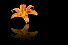 Hemerocallis. With a reflexion on a black background. Scientific name for daylilies royalty free stock images
