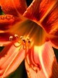 Hemerocallis rojo Imágenes de archivo libres de regalías