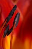 Hemerocallis rosso Fotografia Stock