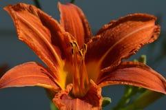 Hemerocallis `Sammy Russell` Daylily closeup Stock Photos