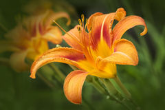Hemerocallis Stock Photos