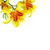 Hemerocallisblumen Lizenzfreie Stockfotos