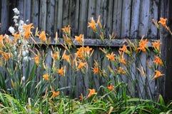 Hemerocallisfulva, getaand of oranje daylily met een witte Aplectrum hyemale, Adam en Vooravond of stopverfwortel Stock Afbeelding