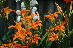 Hemerocallisfulva, getaand of oranje daylily met een witte Aplectrum hyemale, Adam en Vooravond of stopverfwortel Stock Foto's