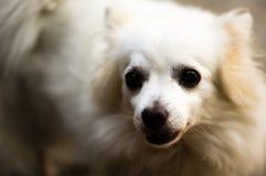 hemhjälp kazakhstan för skällalandshund Fotografering för Bildbyråer
