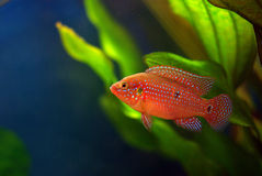 Hemichromis Stock Photography