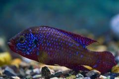 Hemichromis-bimaculatu Jewelfishfische, chromis-hübsches Schwimmen der Fische in einem transparenten Aquarium lizenzfreies stockbild