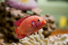 Hemichromis bimaculatus (Красная цихлозома). Photo of exotic fish in home aquarium Royalty Free Stock Photography