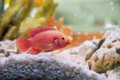 Hemichromis bimaculatus (Хромис красавец или к. Photo of exotic fish in home aquarium Stock Image