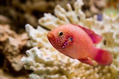 Hemichromis bimaculatus (Хромис красавец круп. Photo of exotic fish in home aquarium Stock Photo
