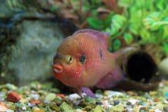 Hemichromis bimaculatus in an aquarium Stock Photo