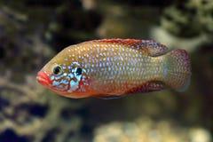 Hemichromis-bimaculatus Jewelfishfische chromis Nahaufnahme lizenzfreies stockbild