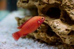 Hemichromis bimaculatus. Photo of exotic fish in home aquarium Royalty Free Stock Photos