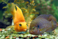 Hemichromis bimaculatus together with Cichlasoma parrot Royalty Free Stock Photography