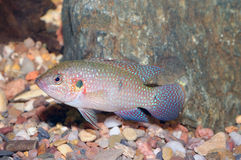 Hemichromis fish Royalty Free Stock Images