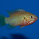 Male Jewel Cichlid. Hemichromis is a genus of fishes from the cichlid family, known in the aquarium trade as jewel cichlids. Jewel cichlids are native to Africa Stock Photos