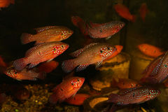 Hemichromis guttatus Gunther Stock Photography