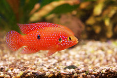 Hemichromis lifalili aquarium fish Royalty Free Stock Photo