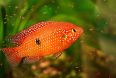 Hemichromis lifalili aquarium fish Royalty Free Stock Image