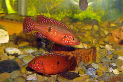 Hemichromis sp. Bangui Royalty Free Stock Images