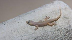 Hemidactylus bowringii 库存图片