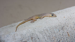 Hemidactylus bowringii Stock Photography