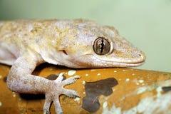 Hemidactylus mabouia Lizenzfreies Stockfoto