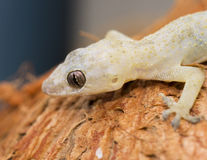 (Hemidactylus mabouia) royaltyfria foton