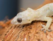 (Hemidactylus mabouia) Royalty Free Stock Photos