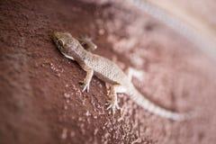 Hemidactylus-turcicus lizenzfreie stockfotografie