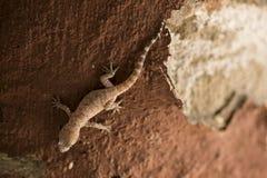 Hemidactylus-turcicus lizenzfreies stockbild