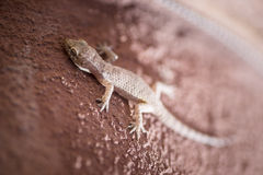 Hemidactylus turcicus Royalty Free Stock Photography