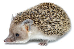 Hemiechinus auritus, Long-eared hedgehog. In front of white background Royalty Free Stock Image