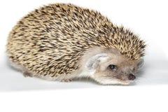 Hemiechinus auritus, Long-eared hedgehog Royalty Free Stock Images