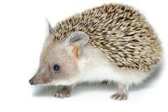 Hemiechinus auritus, Long-eared hedgehog Stock Photo