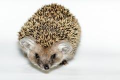 Hemiechinus auritus, Long-eared hedgehog Royalty Free Stock Photo